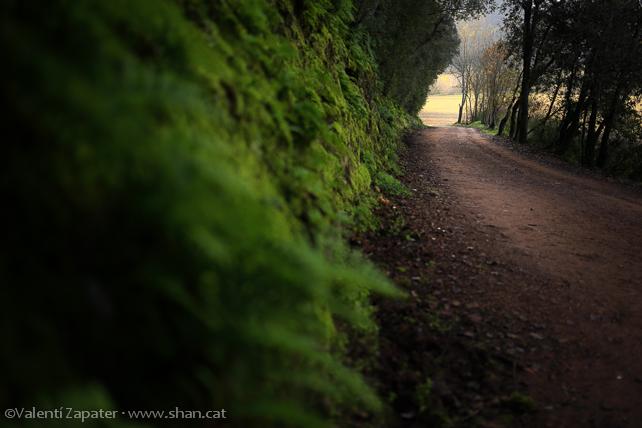 Camino cerca del río Galligants, dentro de un encinar con helechos (Polypodium sp.), al fondo los campos de Can Sirvent. Girona, Catalunya